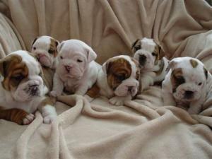 Google Image Result for http://www.anuncio.net/images/imaaviso/192827-teacup-bulldog-puppies-cuidado-para-viviendasvalencia0.jpeg