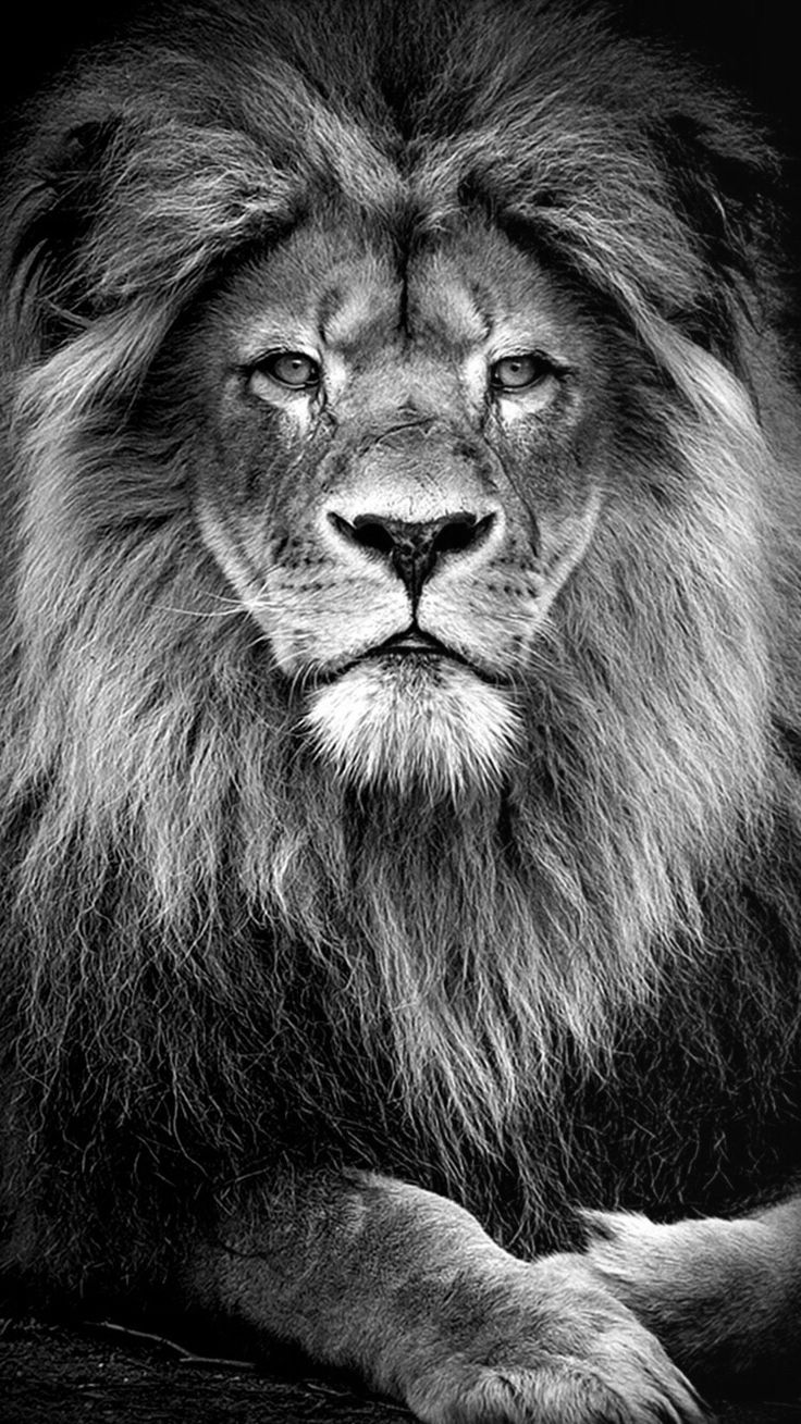 The 25+ best Lion wallpaper ideas on Pinterest | Lion wallpaper iphone, Iphone wallpaper king ...