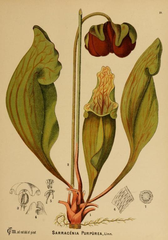 American medicinal plants; Pitcher plant - Biodiversity Heritage Library, botanical illustration