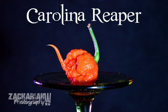 The much desired Carolina Reaper pepper, so wicked!  To purchase seeds, follow link https://www.etsy.com/listing/262036855/carolina-reaper-15-seeds