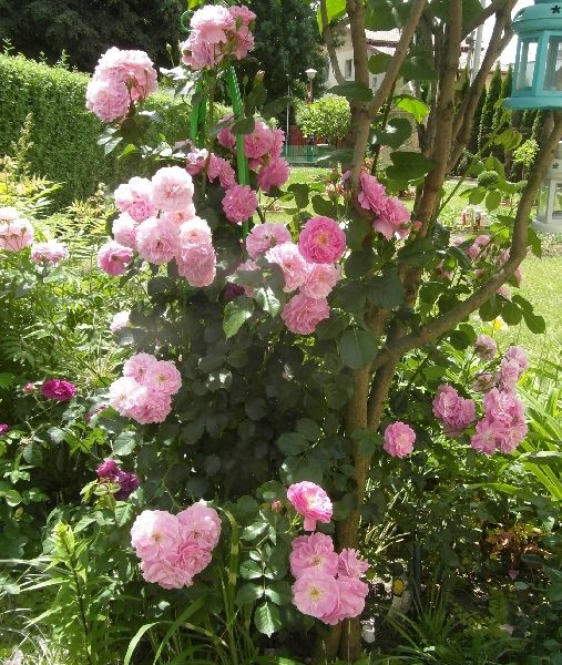 1000 Images About Rose Wish List On Pinterest Shrub