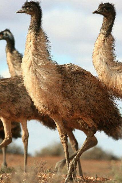 #AustraliaItsBig - Young Emus - Lake Mungo National Park, Australia