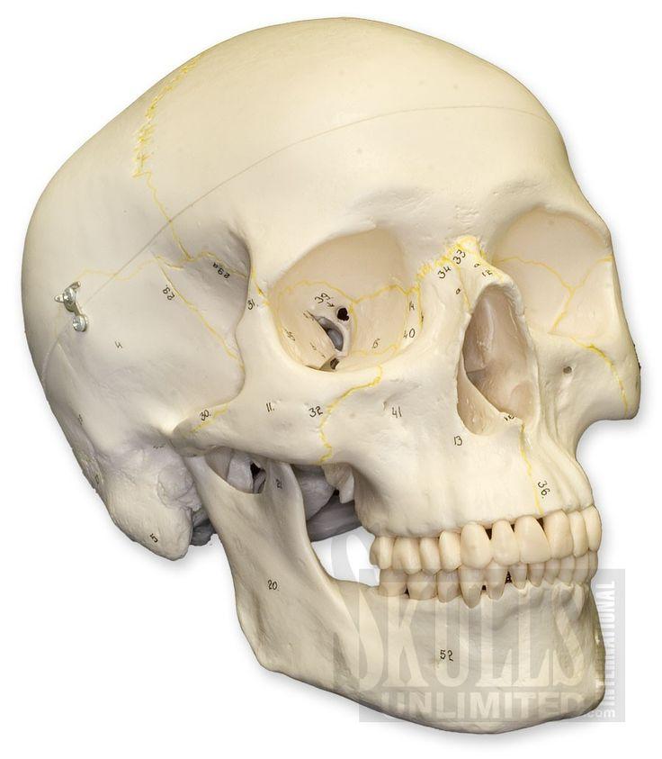 35 best images about human skeleton on pinterest | your brain, Skeleton