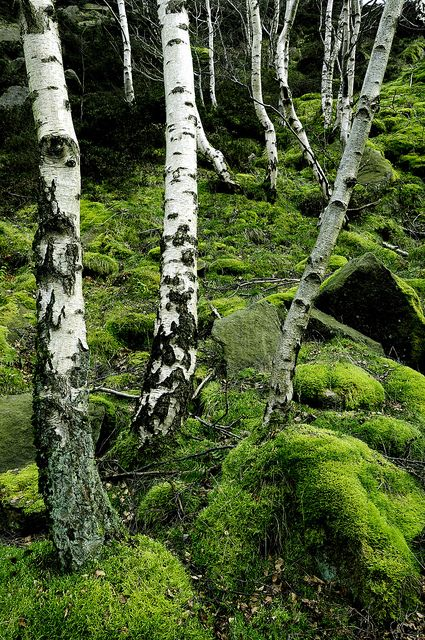 Green moss and silver birch