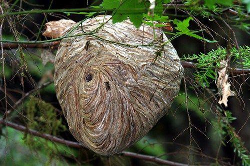 Vespa di carta, il nido è composto da piante masticate, legno morto e cannucce e fango. I materiali sono legati con resina e propria saliva o di seta