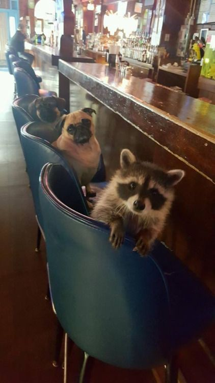"savetheman: "" TGIF! I had to share this. A friend of mine in Illinois owns a bar. Another friend, who I went to High School with, father has these two dogs and an abandoned Raccon that he has raised since it was born and bottle fed. He takes them by... More"