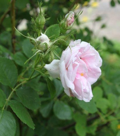 Mustialanruusu - Rosa 'Minette' V, 100-150cm, terve ruusu. Kukkii heinäkuussa 3viikkoa. Erikoinen tuoksu.