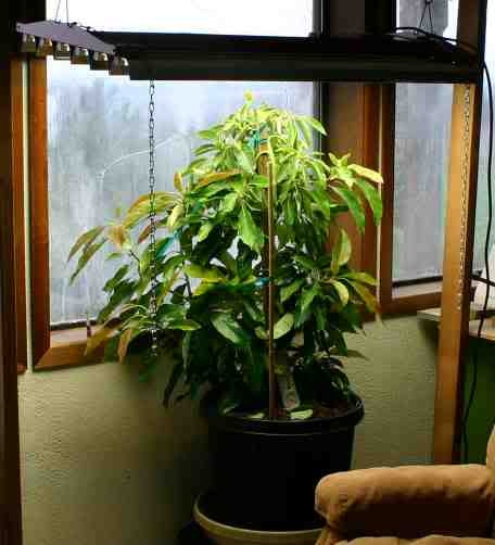 Indoor Avocado Tree.  We will have one of these one day!