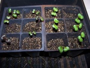 purple and green cabbage seedlings