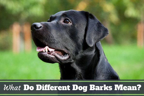 what do dogs barks mean - A black lab talking
