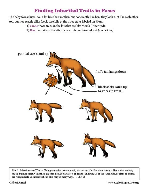 Finding Inherited Traits In Foxes Inherited Traits Teaching Biology Science Standards Inherited traits worksheet 5th grade
