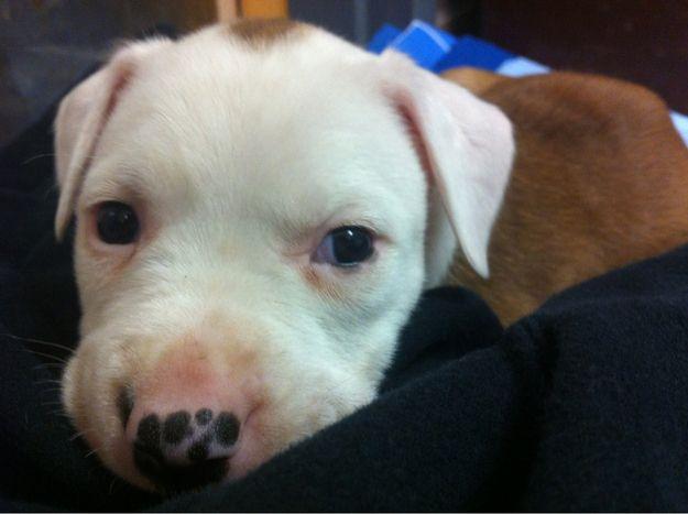 これまで20ほとんどの愛らしいピットブル子犬の写真