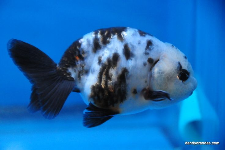 17 best images about koi and goldfish on pinterest for Small koi fish care
