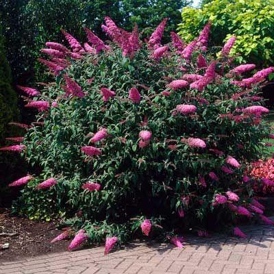 Deer Repellent - Pink Delight Butterfly Bush
