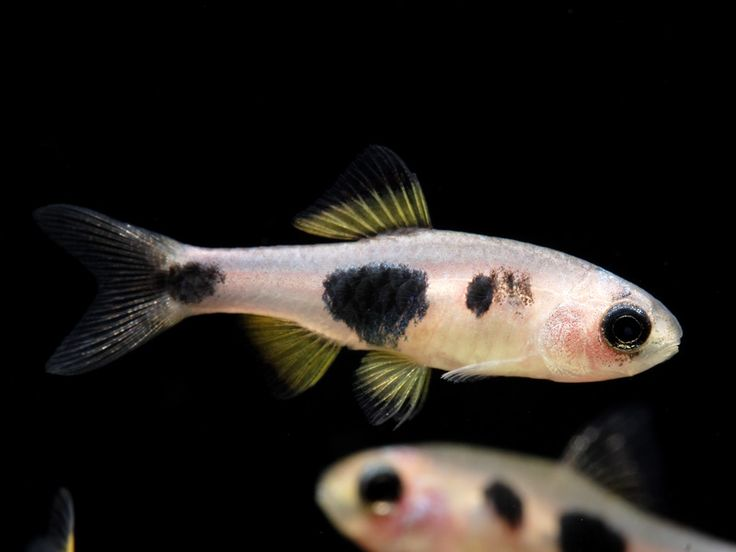 17 best images about freshwater fish on pinterest for Butterfly fish freshwater