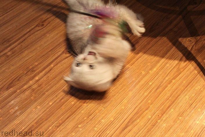 Британский вислоухий котенок/British fold cat - мой новый питомец!
