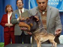 Audi mistura Doberman com Chihuahua em filme para Super Bowl - http://marketinggoogle.com.br/2014/01/27/audi-mistura-doberman-com-chihuahua-em-filme-para-super-bowl/