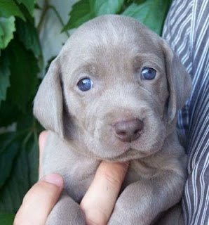 A Grey Lab with Blue eyes is the ultimate dog | oh happy