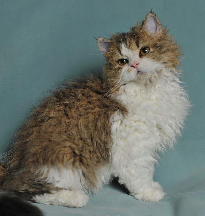 Selkirk Rex Cat.....Beautiful!