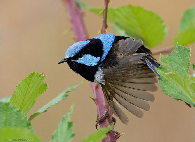 Male Superb Fairy Wren. Photo by aaardvark