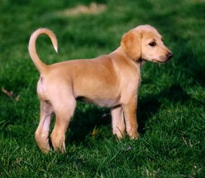 Smooth-coated Saluki puppy in the lush green grass.