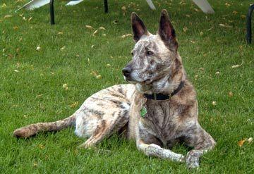 Light brindle Dutch Shepherd | Rotties, Dobes, Shepherds, Labs and ot ...