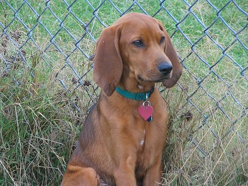 English Coonhound. want. this. dog.
