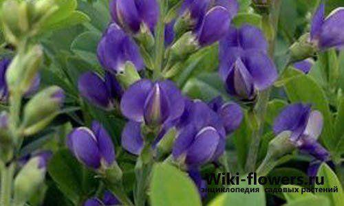 Баптизия (Baptisia tinctoria)