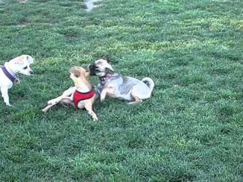 Gütchi - Pug Chihuahua Mix breed Puppy (aka Chug) Playing with another dog at dog park irvine - http://www.doggietalent.com/2014/12/gutchi-pug-chihuahua-mix-breed-puppy-aka-chug-playing-with-another-dog-at-dog-park-irvine/