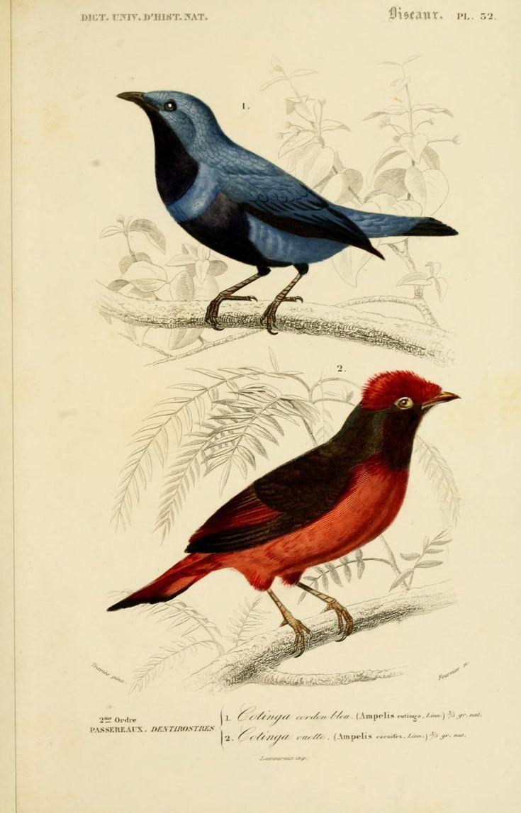 gravures couleur d'oiseaux - Gravure oiseau 0179 cotinga ouette - ampelis carnifex - passereau - Gravures, illustrations, dessins, images