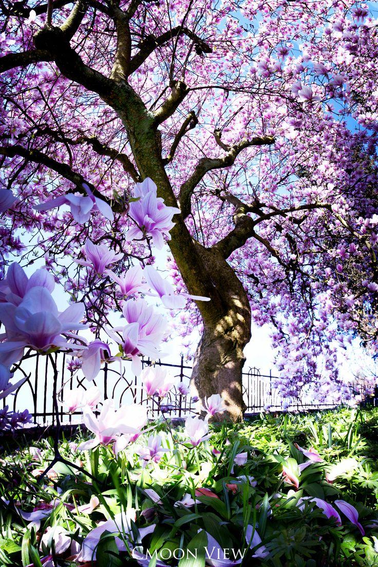 """Little Paradise Garden - """"Little Paradise Garden"""" Vertikalpano  Magnolienbäume gehören zu meinen Lieblingsbäumen, weil ich die grossen Blüten wunderschön finde:) Ich sah den Baum in einem Garten stehen, klingelte aber niemand öffnete, also fotografierte ich von draussen in den Garten hinein. Irgendwann kam ein älterer Herr und fragte, öb ich den Baum auch vom Garten aus fotografieren möchte; ich dürfe einfach nicht auf die Gräser stehen:) Natürlich nahm ich dankend an und bewegte mich nur…"""