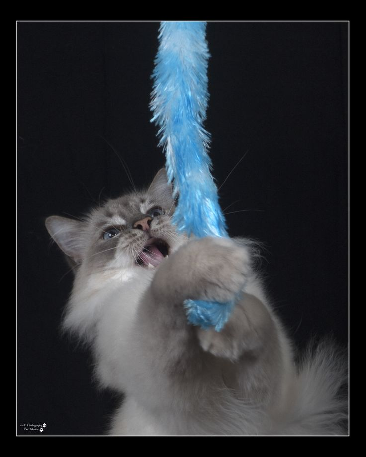 Coke The Ragdoll Cat www.jjfphotography.com.au