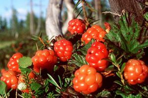Cloudberries - popular in Finnish deserts. During our one Lapland-trip, we picked Cloudberries about seven bucketful (=35 litres) The place was Misi.