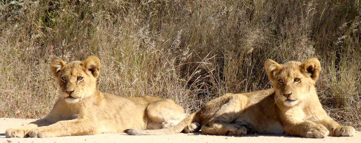 Lion Cubs, Kruger National Park, Transport Dam