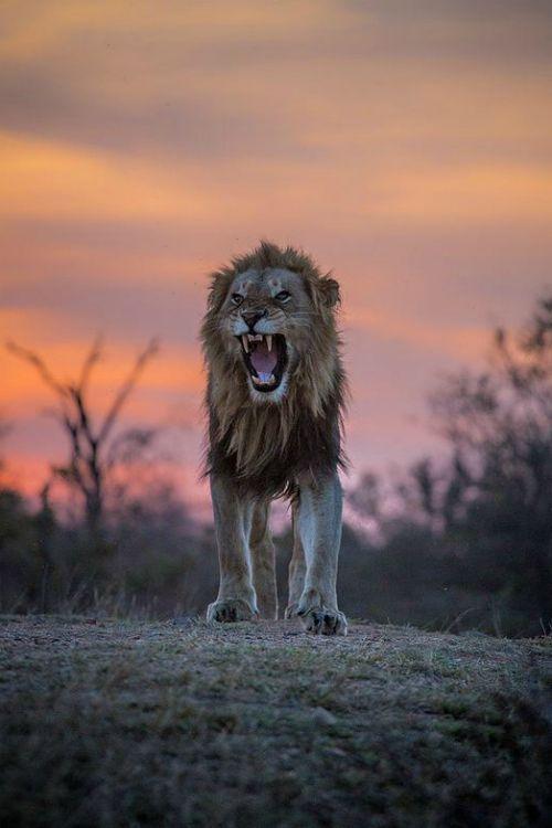 Fierce lion roar beautiful