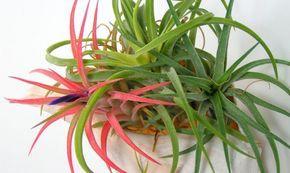 La tillandsia aérea o clavel del aire es una planta de la familia de las bromelias muy original y que vive abrazada a los árboles.