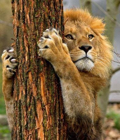 Pin by Agalma on LION   Pinterest   Lions and Animal