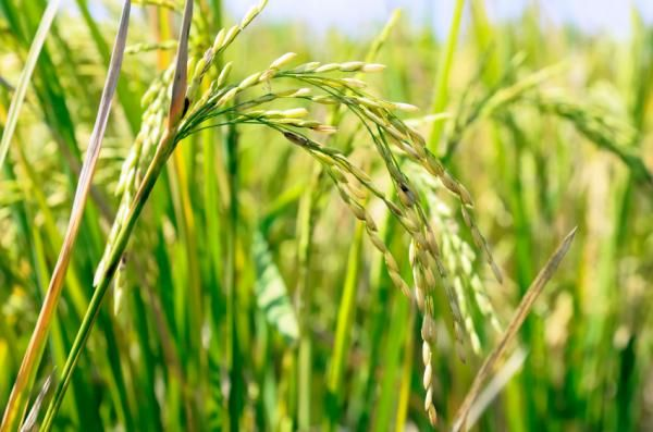 Shortage Of Water Poses Serious Threat To Rice Crop