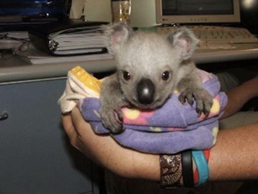 Great Koala Bear Chubby Adorable Dog - 7ada51c1b08beeeb26668ca17c9cfa9b--crazy-animals-wild-animals  Picture_32562  .jpg