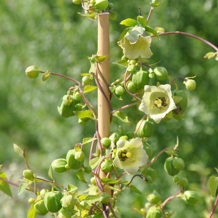 Högt skattad medicinalväxt i Kina. Avkok av torkad rot anses ha liknande egenskaper som gi...
