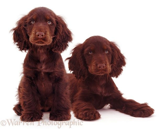 17 best ideas about chocolate cocker spaniel on pinterest