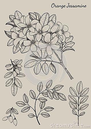Orange Jessamine flower