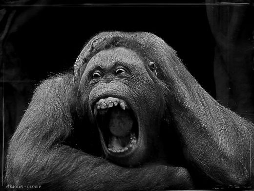 Особый шик : черно-белые портреты  обезьян