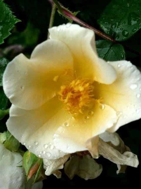 Rain drops on this elegant rose Gocce di pioggia su questa bellissima rosa www.tanaimuser.com
