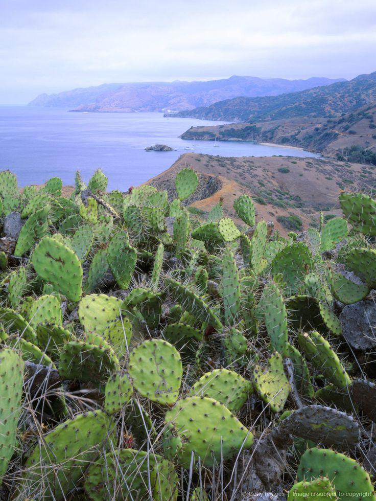 Prickly Pear Cactus Opuntia Ficus Indica On Ridge Above Emerald Bay Santa Catalina