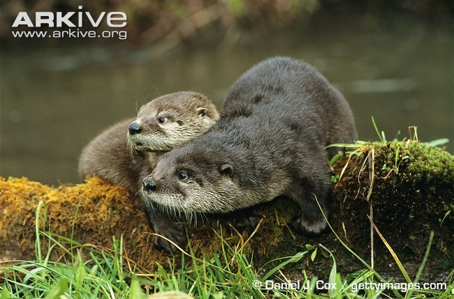North American otter photo - Lontra canadensis - image-G63679