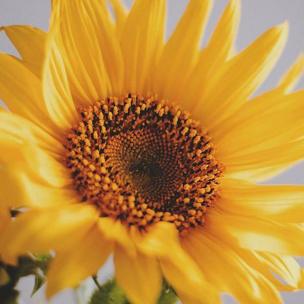 Sunflower Apricot Daisy - Annual Flower Seeds