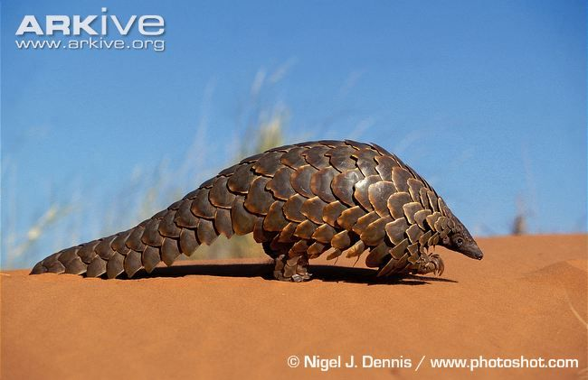 The Ground Pangolin (Smutsia temminckii) belongs to a group of eight armour-plated species, (the order Pholidota), distinguished from other mammals by their protective layer of horny scales. Occurs in eastern and southern Africa, from north-eastern Chad and Sudan, south to South Africa. Inhabits savanna and woodland and are often found living near a water source.