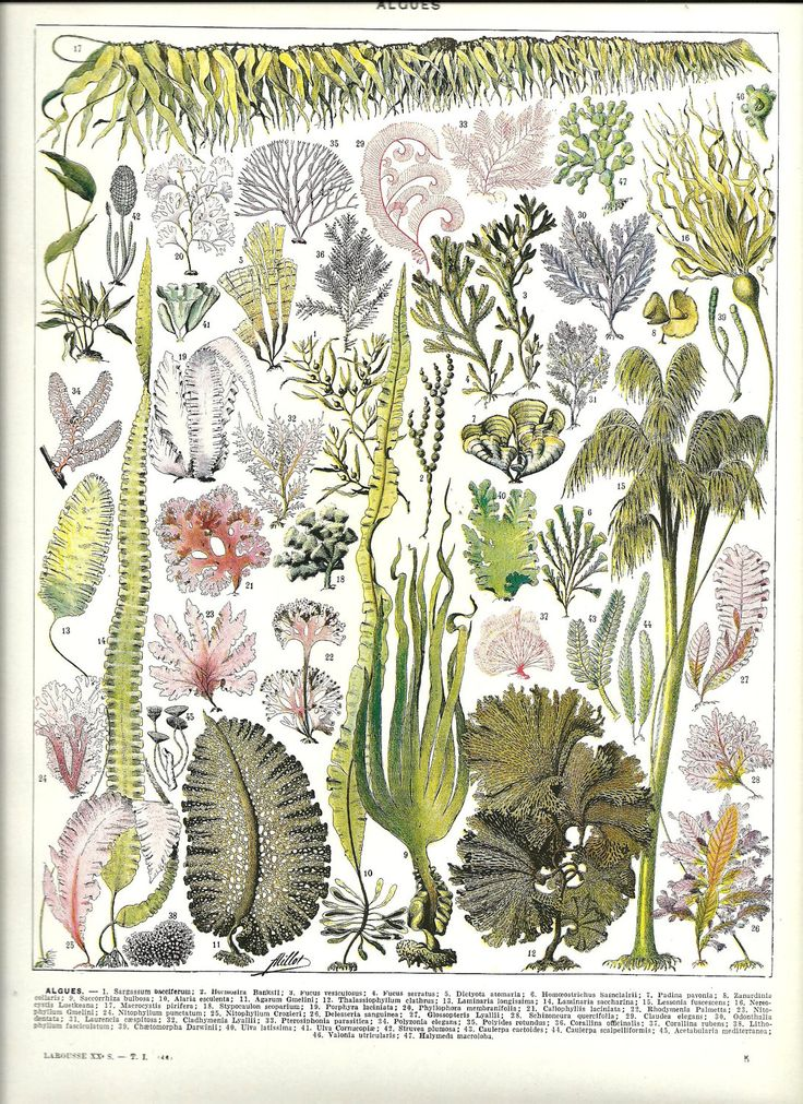 SEAWEED botanical illustration from Poster - French Color Dictionary - 1930