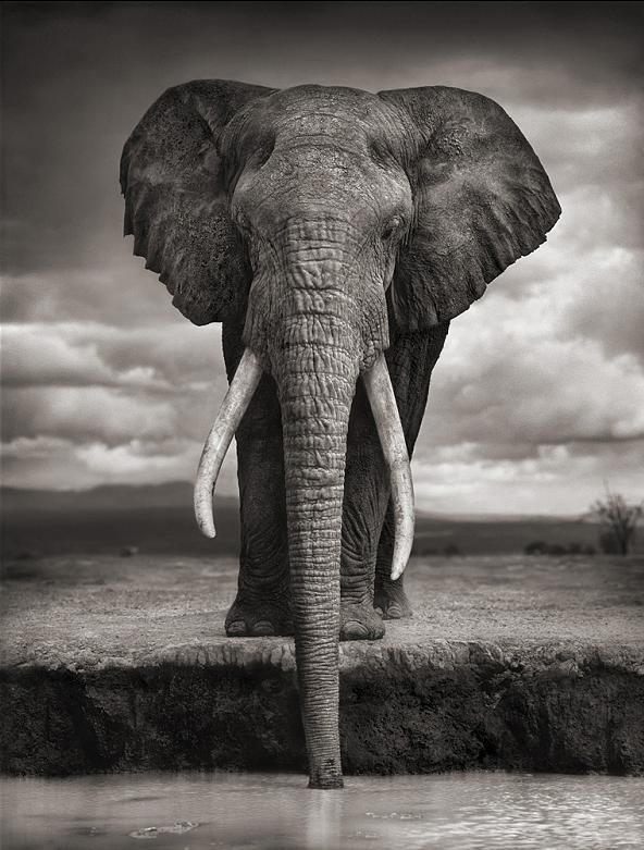 Nick Brandt, 'Elephant Drinking Water'    Platinum Print.  #3 of 15.  Available at FD. www.fd-inspired.com